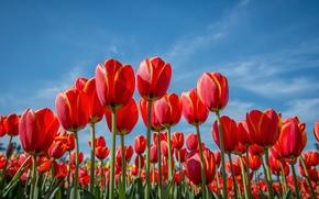campo, cielo, Flores, TULIPANES
