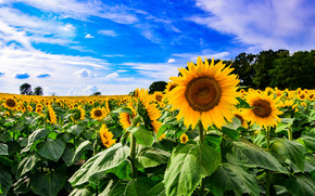 field, sky, Sunflowers, Flowers, flora