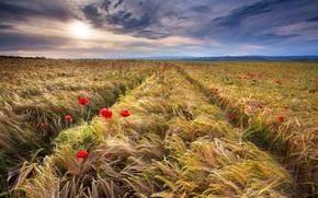 tramonto, campo, spighe di grano, Papaveri, paesaggio