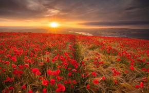 tramonto, campo, spighe di grano, Papaveri, tsvkty, paesaggio