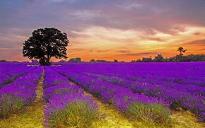 закат, поле, лаванда, дерево, пейзаж