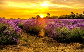 tramonto, campo, lavanda, alberi, paesaggio