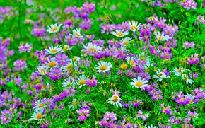 поле, цветы, ромашки, флора
