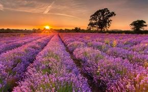 tramonto, campo, lavanda, albero, paesaggio