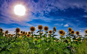 pole, niebo, słońce, Słoneczniki, krajobraz