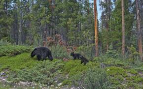 Parco nazionale Jasper, foresta, alberi, orsa, Orsi
