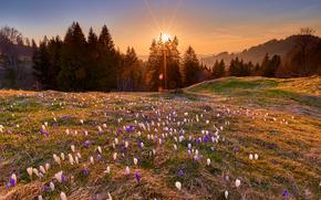 tramonto, campo, Colline, alberi, Fiori, Crochi, paesaggio