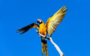Blue and Yellow Macaws, parrot, bird