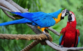 Blue and Yellow Macaws, Parrots, birds