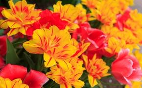 郁金香, 郁金香, 植物群, 花卉