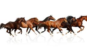 животные, кони, лошади, скакуны, белый фон