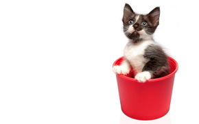 cat, cat, kitten, bucket, red, white background