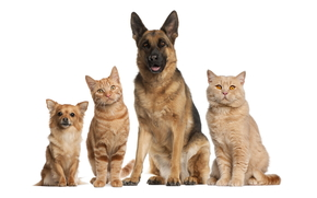 animals, Dog, cat, cats, shepherd, company, Friends, white background