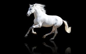 animali, Cavalli, cavallo, cavallo, cavallo, sfondo nero