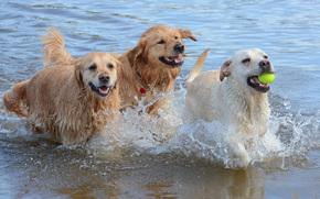 собаки, игра, бег, животные