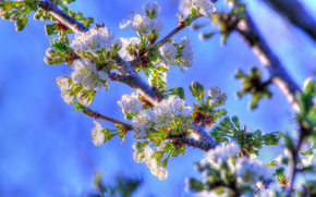 Cherry blossoms, вктка, цветы, природа