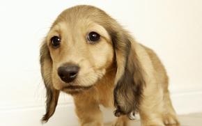 Cane, cane, cane, cucciolo, Cuccioli, pecorina, Doggie, animali, ben, dalle orecchie lunghe