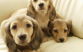 Dog, dog, dog, puppy, Puppies, doggie, Doggie, animals, nicely, long-eared