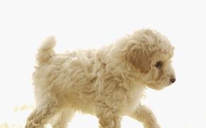 Dog, dog, dog, puppy, Puppies, doggie, Doggie, animals, nicely, Curly