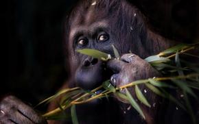 орангутан, обезьяна, ветка