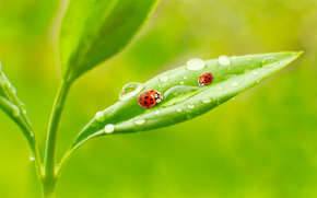 ladybugs in the garden, light, sun, fresh air, water, drops, greens, summer, krasotinushka, ladybug, BEETLE, beetles, Macro, Rendering, Insects, dew