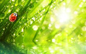 coccinelle in giardino, chiaro, sole, aria fresca, acqua, gocce, verdi, estate, krasotinushka, coccinella, SCARABEO, coleotteri, Macro, Rendering, Insetti, rugiada