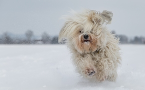 Havanese, dog, shaggy, running, winter, snow