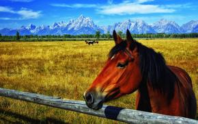 поле, горы, пастбище, лощади, кони