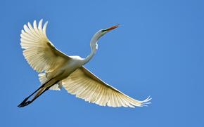 airone, uccello, volo