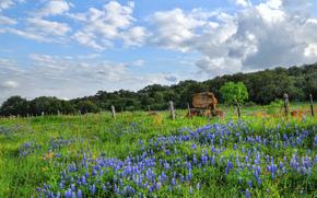 Flores silvestres, Pimpinela, Texas