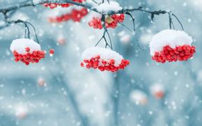 inverno, nevicata, FILIALE, Rowan, natura