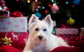 West Highland White Terrier, perro, ver