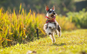 Miniature Schnauzer, miniature schnauzer, dog, joy, mood, tour, running