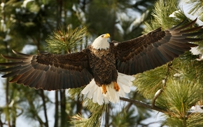 Bald Eagle, hawk, bird, wings, BRANCH