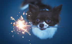 Chihuahua, dog, doggie, muzzle, view, sparkler, Sparks
