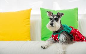Miniature Schnauzer, miniature schnauzer, dog, Sarafan, attire, Pillow