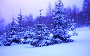 winter, snow, forest, trees, spruce, drifts, landscape