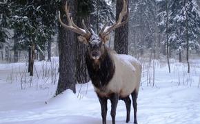 zima, las, jeleń, opady śniegu, drzew, wystroić, charakter