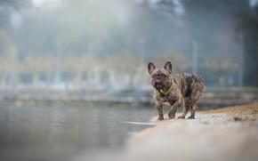 французский бульдог, собака, вода