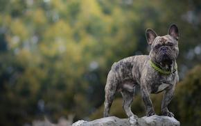 французский бульдог, собака, взгляд, камень