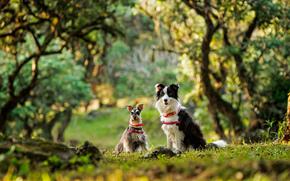 Miniature Schnauzer, miniature schnauzer, Border Collies, Dog, couple, bokeh