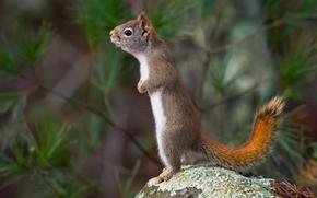 écureuil, crémaillère, pierre
