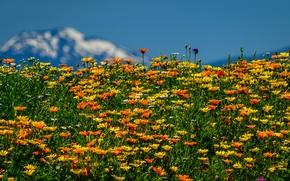 луг, цветы, лето