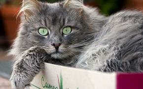 кот, кошка, взгляд, в коробке