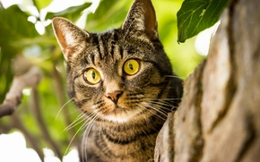 COTE, gatto, museruola, occhi enormi, visualizzare