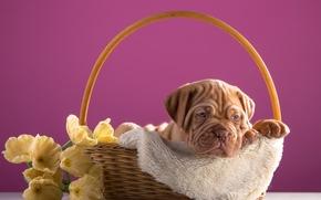 Dogo de Burdeos, perro, cachorro, cesta, Flores