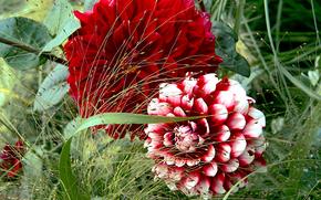 dalia, Flores, flora