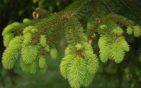 spruce, fir-tree, branch, needles