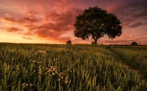 sunset, field, ears of corn, Flowers, footpath, tree, landscape