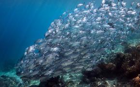 FISH, sott'acqua, bassofondo, barriera corallina, acqua, oceano, Indonesia, Asia, natura
